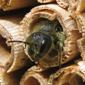 Solitary bee
