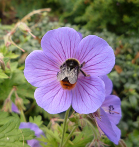 Bumble bee on Geranium