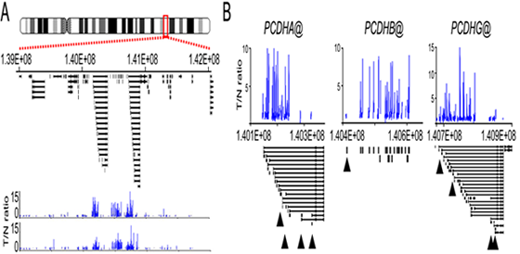 Analysis of the Wilms' tumour epigenome. (A) shows a region of long-range epigenetic silencing (LRES) on human chromosome 5q31 identified by human genome promoter arrays. (B) Clustered paralogous protocadherin genes at chromosome 5q31 are hypermethylated in Wilms' tumour.