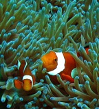 Clownfish are a valuable model species for studying population connectivity.