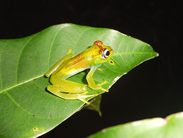 d48a42721212c Bristol student finds new species of tree frog. The new species has been named  Boophis ankarafensis ...