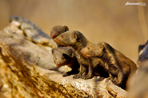 mongoose-group-article