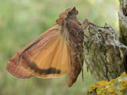 The Yellow Underwing moth