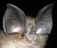 The big-eared horseshoe bat, Rhinolophus macrotis