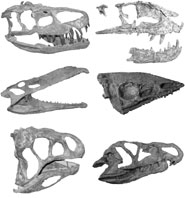 A montage of the skulls of several crurotarsan archosaurs. Top (l-r): The rauisuchians Batrachotomus and Postosuchus; middle: the phytosaur Nicrosaurus and the aetosaur Aetosaurus; bottom: the poposauroid Lotosaurus and the ornithosuchid Riojasuchus.