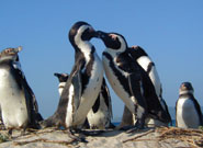 Adult African penguins engage in mutual preening on the beach