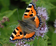 A small tortoiseshell butterfly: one of the 563 species of insects reared from the 20 farms.