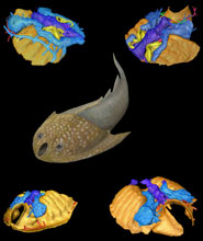 Artistic reconstruction of the galeaspid animal together with different views of the digital model of its brain and sense organs