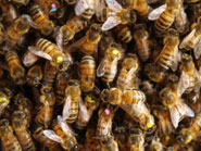 How honeybees choose a nest site essay