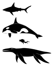 Silhouette comparing the sizes of a great white shark (top), killer whale, human diver and the pliosaur