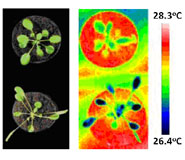 (Left) Arabidopsis thaliana, the model plant species, grown at 22oC (top) and 28oC (bottom). (Right) Thermal images of 22oC-grown (top) and 28oC-grown (bottom) Arabidopsis plants moved to 28oC.