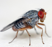 Fruit fly (Drosophila)