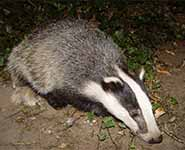 Young European badger