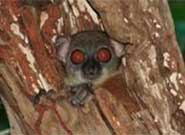 The Sahamalaza sportive lemur (Lepilemur sahamalazensis) roosts during the day in rather open situations such as tree holes