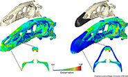 Computer models of the skull of Erlikosaurus andrewsi without (left) and with keratinous beak (right); colour plots resulting from finite element analysis show the degree of deformation in the different skull configurations