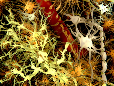 The main cells of the brain, with neurons in yellow and astrocytes in orange.