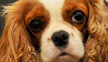 August Welfare Of Toy Dog Breeds News University Of Bristol