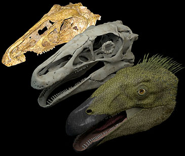 Reconstruction of the Cretaceous therizinosaur Erlikosaurus andrewsi: original fossil (back), reconstructed digital skull model (middle), and life-reconstruction (front)