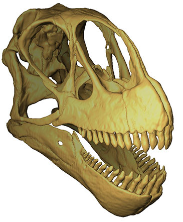 The completed skull model of the Late Jurassic North American sauropod dinosaur Camarasaurus