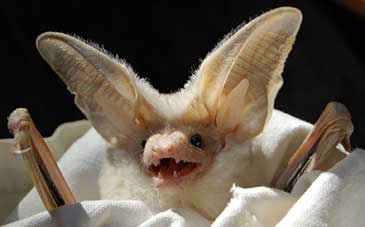 Image of the desert long-eared bat Otonycteris hemprichii