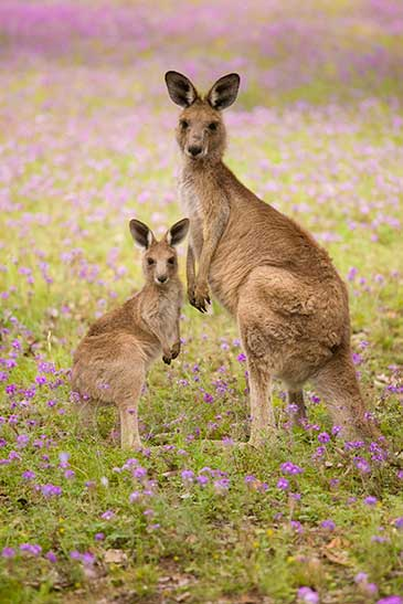 Image of an adult kangaroo and joey