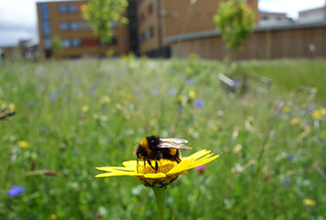 Image of a bee in a flower meadow by Nadine Mitschunas