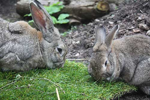 Image of two rabbits