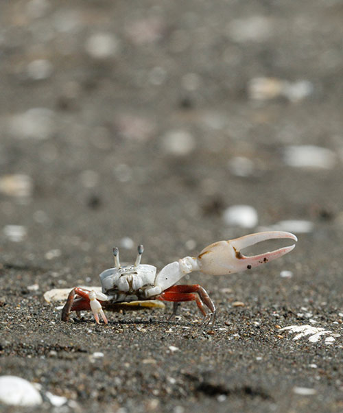 Image of fiddler crab
