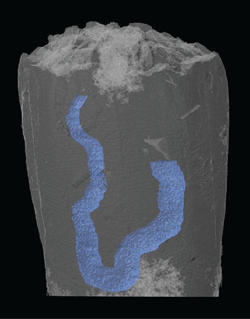 Image of 3-D reconstruction of the fossil with the gut shown in blue