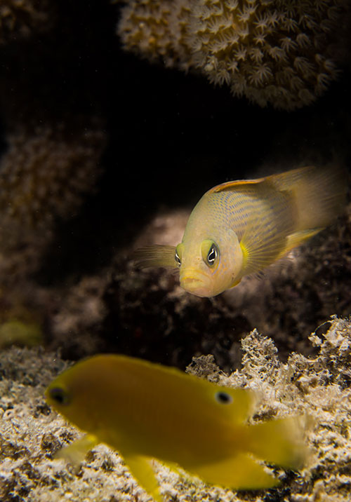 Image of the predatory dusky dottyback eyeing up a juvenile Ambon damselfish