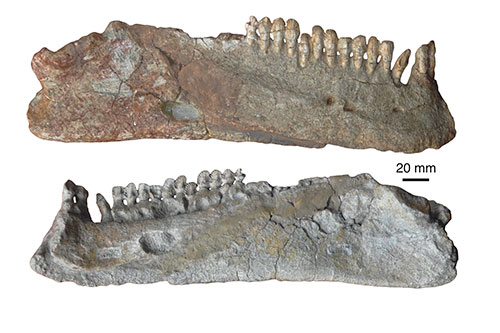Image of pareiasaur jaws