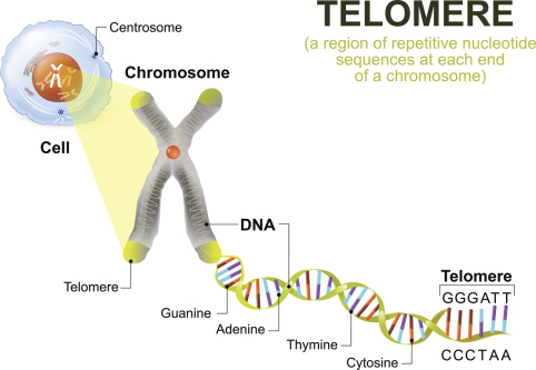 Illustration of a telomere