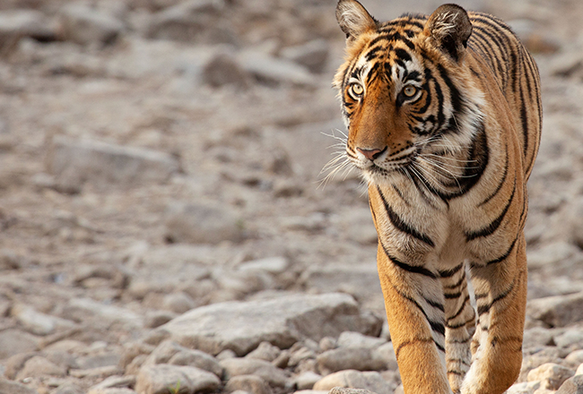life-in-colour-body-image-tiger