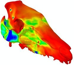 Image of a finite element model of a pig skull – cool colours indicate regions of the skull that are compressed after the application of loads.