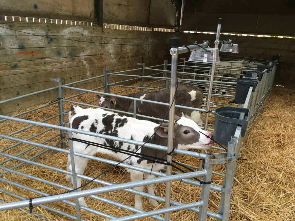 Automatic disease detection in calves - farm example