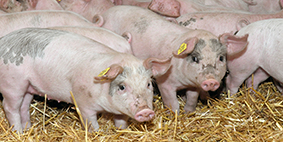 awb implement change piglets
