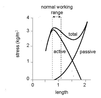 the skeletal muscle length tension relationship Fundamental functional properties of skeletal muscle length-tension relationship the isometric length-tension curve represents the force a muscle is capable of generating while held at a.