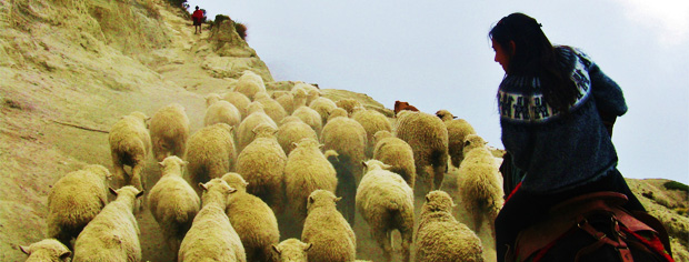Detail of 'Overtaken by Sheep' by Lauren Pavitt, winner of the Year Abroad Photography Competition 2011, category 'Unexpected'