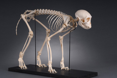 Colobus Monkey skeleton