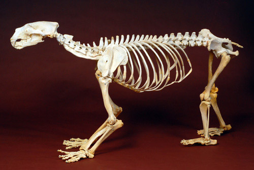 Polar bear skeleton
