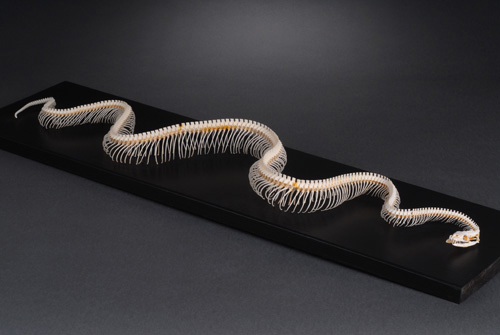 Royal Python skeleton