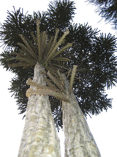 Toothed Lancewood