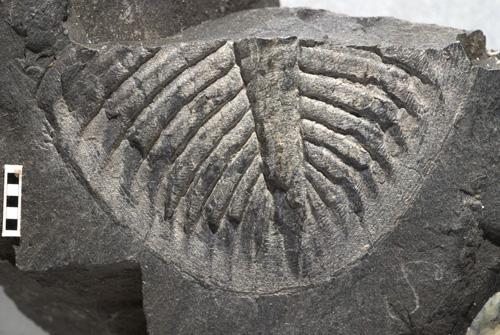 Trilobite tail