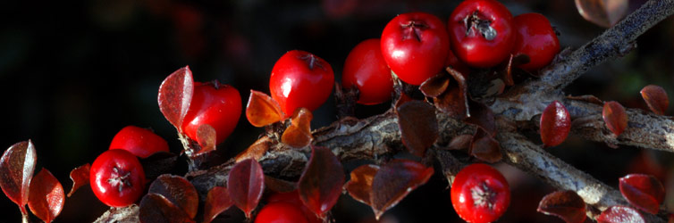 Berberis berries, photo by Innes Cuthill