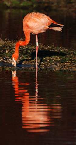 Flamingo, photo by Innes Cuthill