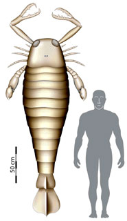 Mock up of fossil sea scorpion, compared to man