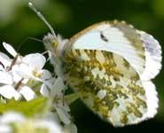 An Orange-Tip butterfly