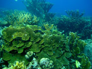 A reef in Curaçao dominated by Montastraea faveolata