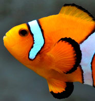 The orange clownfish, Amphiprion percula