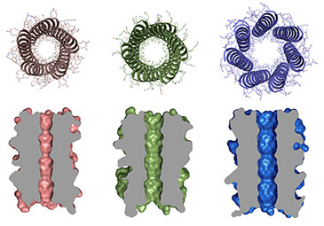 Orthogonal views of 5-, 6- and 7-helix barrel proteins created by Drew Thomson, Dek Woolfson and colleagues